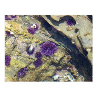 Ocean Tidepools Sea Urchins Postcard