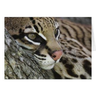 Ocelot, Felis pardalis, captive, female resting Card