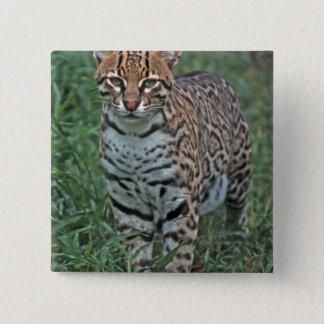 OCELOT Leopardus pardalis) CENTRAL AMERICA 15 Cm Square Badge