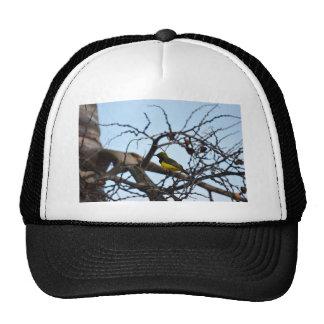 OLIVE BACKED SUNBIRD RURAL QUEENSLAND AUSTRALIA CAP