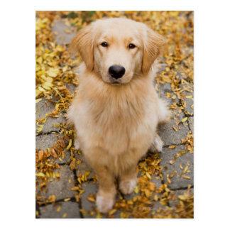 One year old Golden Retriever, portrait Postcard