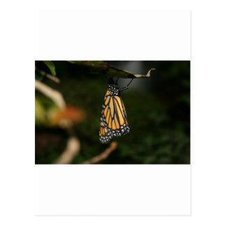 Orange and Black Winged White Spotted Butterfly Post Cards