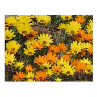 Orange and Yellow Daisies Postcards