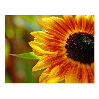 Orange and yellow sunflower blossoms postcards