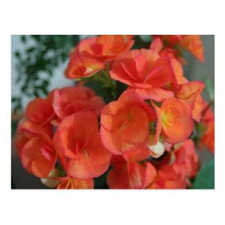 orange begonias postcard