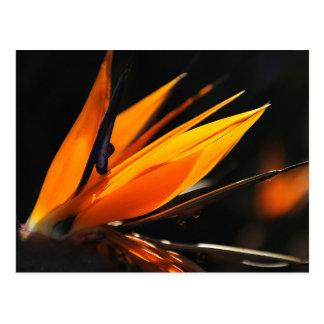 Orange Bird of Paradise Strelitzia Postcard