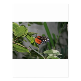 Orange Black and White Spotted Butterfly Postcards