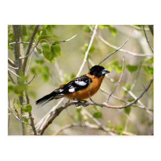 Orange & Black Bird Postcard