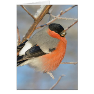 Orange Bullfinch Bird Card