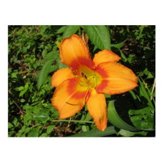 Orange Crush Daylily Post Card