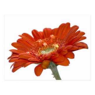 Orange Daisy Gerbera Flower Postcard