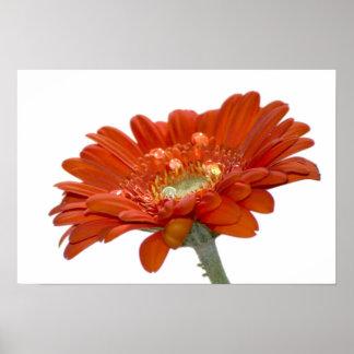 Orange Daisy Gerbera Flower Posters