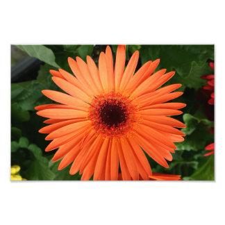 Orange Daisy Photograph