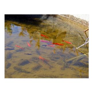 Orange fish group in pond post card