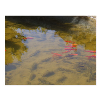 Orange Fish In The Clean Water Pond Post Cards