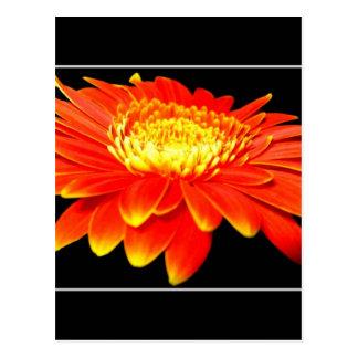 Orange Flower Gerbera Daisy Post Card