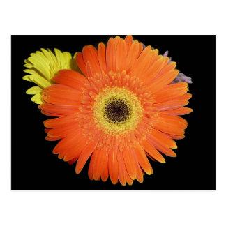 Orange Gerber Daisy Postcards