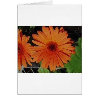Orange Gerber gerbera Daisy daisie Greeting Card