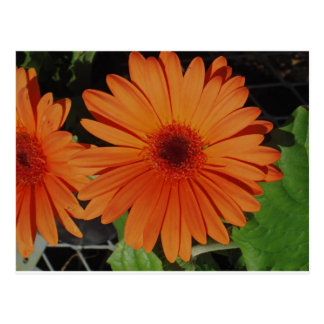 Orange Gerber gerbera Daisy daisie Postcard