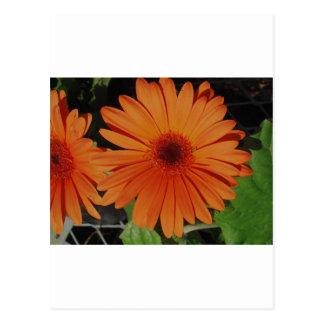 Orange Gerber gerbera Daisy daisie Post Card