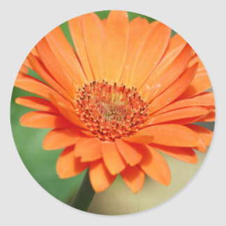 Orange Gerbera Daisy Classic Round Sticker