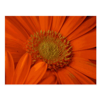 Orange Gerbera Daisy Flower Bouquet Blossom Postcard