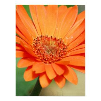Orange Gerbera Daisy Postcards