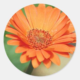 Orange Gerbera Daisy Round Sticker