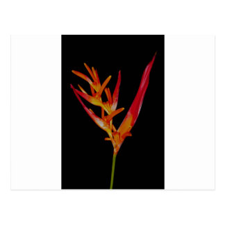 Orange Heliconia Postcard