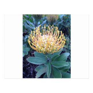 Orange/Yellow Lace Bud Blooming Postcard
