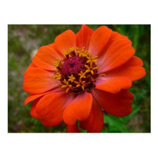 Orange Zinnia Wildflower Photo Postcard