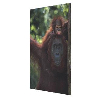 Orangutan Mother with Baby Canvas Print