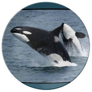 Orca Killer Whales Breaching Plate