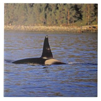 Orca or Killer whale. Tile