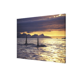 Orca or Killer whales Gallery Wrapped Canvas