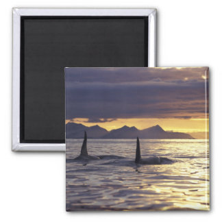 Orca or Killer whales Square Magnet