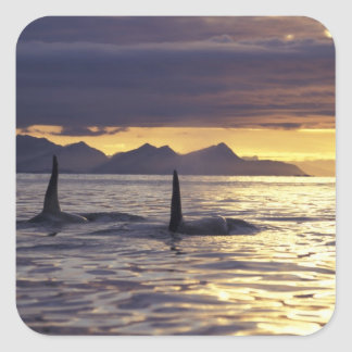 Orca or Killer whales Stickers