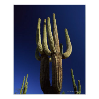 Organ pipe cactus national monument in Arizona Poster