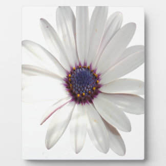 Osteospermum Daisy with Purple Centre Plaque