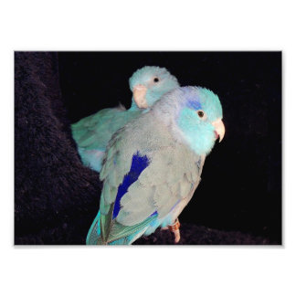 Pacific Blue Parrotlet Love Birds Portrait Photo
