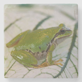 Pacific tree frog on flowers in our garden, stone coaster