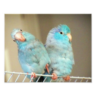 Pacifif Parrotlets Love Bird Companions Photo Art
