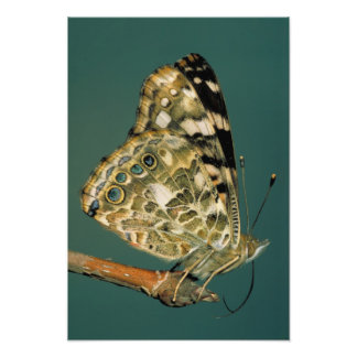 Painted Lady Butterfly Wings Photo