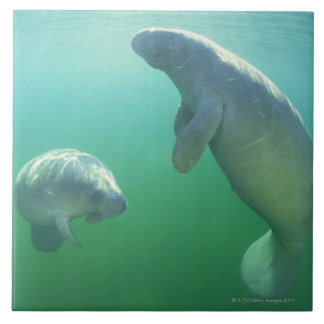 Pair of florida manatees swimming tile