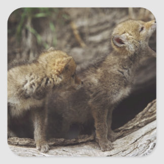 Pair Of Young Coyote Pups Howling Square Sticker