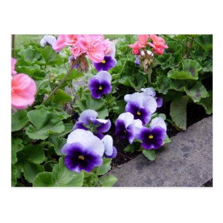 Pansies and geraniums postcard