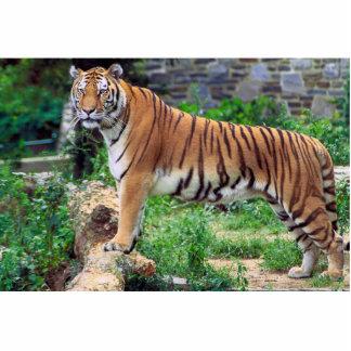 Panthera Tigris Tigris Standing Photo Sculpture