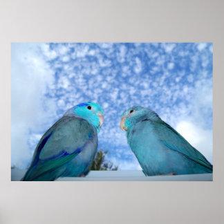 Parrotlets Pacific blue Parrotlet Bird Pair Poster