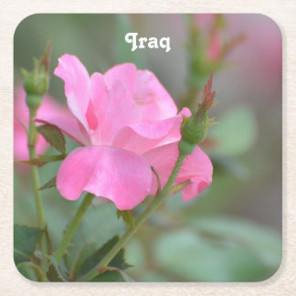 Pastel Pink Rose in Iraq Square Paper Coaster
