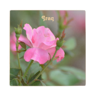 Pastel Pink Rose in Iraq Wood Coaster